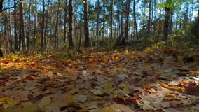 Yellow Foliage On The Ground In Autumn Park. Low angle shot: camera is moving over lots of yellow fallen leaves lying on the round with tree trunks on background stock video