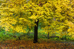 Yellow foliage Stock Photo