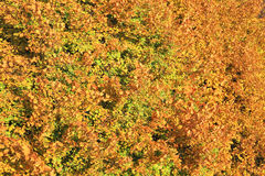 Yellow foliage of a linden Royalty Free Stock Photos