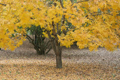 Yellow foliage on single small tree in fall. A burst of bright yellow leaves in the fall with  leaves carpeting the ground. This tree may be a Sunburst Honey Royalty Free Stock Image