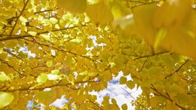 Yellow foliage. Steady. Yellow foliage. Yellow foliage Steady stock video footage