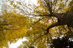 Yellow foliage of elm trees. Yellow foliage of tall elm trees with branches reaching up, Seattle stock photos