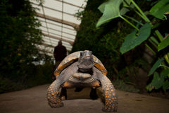Yellow Footed Amazon Tortoise. Geochelone denticulata, on the garden Royalty Free Stock Images