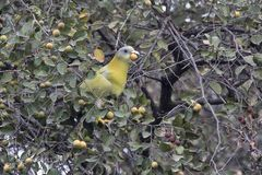 Yellow-footed green pigeon that sits on a tree branch and tries Royalty Free Stock Images
