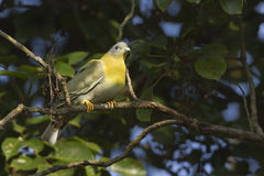Yellow-footed green pigeon Stock Photo