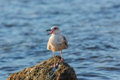 Yellow-footed gull close up. Yellow-footed gull ( Larus livens) resting on a pebble Royalty Free Stock Photos