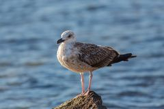 Yellow-footed gull close up. Yellow-footed gull ( Larus livens) resting on a pebble Stock Image