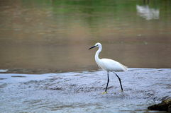 Yellow-footed  Little Egret Bird walking on water Stock Image