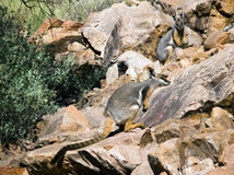Yellow-footed Rock-Wallaby. Rare Yellow-footed Rock-Wallabies in Brachina Gorge, Flinders Ranges, Australia Royalty Free Stock Photography