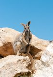 Yellow footed rock wallaby Royalty Free Stock Photos