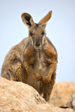 Yellow footed rock wallaby Royalty Free Stock Photo