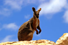 Yellow-footed rock wallaby. A yellow footed rock wallaby atop a rocky outcrop watching for any signs of danger stock images