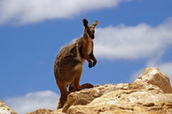 Yellow-footed rock wallaby. A yellow footed rock wallaby atop a rocky outcrop watching for any signs of danger royalty free stock photography