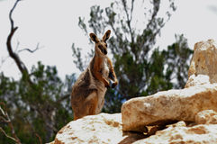 Yellow-footed rock wallaby. A yellow footed rock wallaby atop a rocky outcrop watching for any signs of danger royalty free stock images