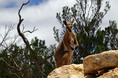 Yellow-footed rock wallaby. A yellow footed rock wallaby atop a rocky outcrop watching for any signs of danger royalty free stock photo
