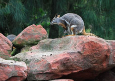 Yellow-footed Rock Wallaby Royalty Free Stock Photos