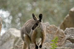 Yellow footed rock wallaby Stock Photo