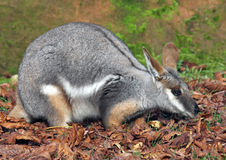 Yellow-footed rock wallaby 1 Stock Photography