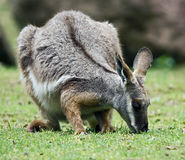 Yellow-footed rock wallaby 3 Stock Photo