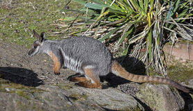 Yellow-footed rock wallaby 4 Royalty Free Stock Photo