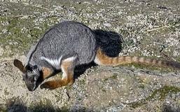 Yellow-footed rock wallaby 6 Royalty Free Stock Images