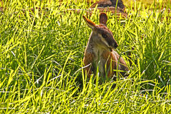Yellow-Footed Rock-Wallaby in Long Green Grass Royalty Free Stock Photo