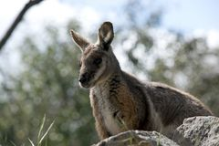 Yellow footed rock wallaby Royalty Free Stock Image