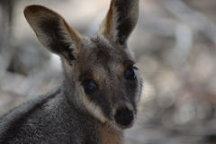 Yellow Footed Rock Wallaby, Wilpena Pound Royalty Free Stock Photo