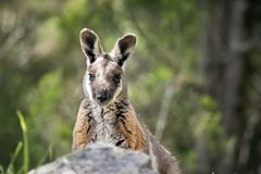 Yellow footed rock wallaby Royalty Free Stock Photography