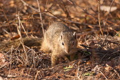 Yellow-footed squirrel Royalty Free Stock Images