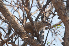 Yellow-footed squirrel Stock Photo
