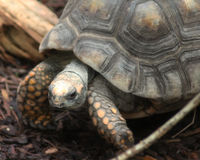 Yellow-footed tortoise close Royalty Free Stock Image
