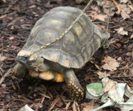 Yellow-footed tortoise close Royalty Free Stock Photos