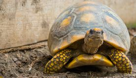 Yellow footed tortoise in closeup, Reptile specie with a vulnerable status, tropical land turtle from America. A Yellow footed tortoise in closeup, Reptile royalty free stock images