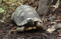 Yellow-footed tortoise Royalty Free Stock Photo