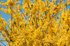 Yellow Forcing Flowers Forsythia europaea in the spring against the blue sky Royalty Free Stock Image
