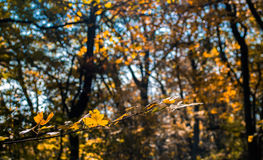 Yellow forest Royalty Free Stock Photos