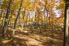 Yellow Forest Stock Image