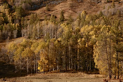 Yellow forest in autumn Stock Photography