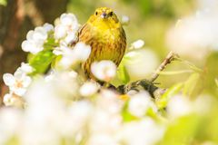 Yellow forest bird sits among spring flowers. Natural beauty, flowering, wildlife after the winter Royalty Free Stock Photo