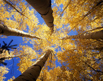 Yellow Forest Canopy. Looking up at a canopy of yellow leaves, formed by aspen trees, in the Arapaho National Forest, of Colorado, during the autumn season Royalty Free Stock Images