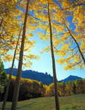 Yellow Forest Clearing. A clearing in an aspen forest with mountains in the background Royalty Free Stock Images