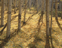 Yellow Forest Floor. Aspen leaves, on the ground, during the fall season in the uncompahgre national forest of southwest Colorado Royalty Free Stock Photos