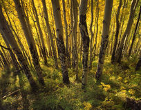 Yellow Forest (H). A grove of aspen trees, in the Uncompahgre National Forest located in Colorado, bathed in yellow light stock photography