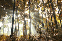 Morning Sunlight Inside a Yellow Forest Stock Photos