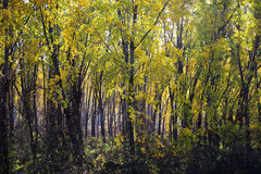 Yellow forest Stock Images