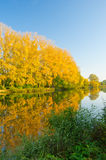 Yellow forest on river coast Stock Photography
