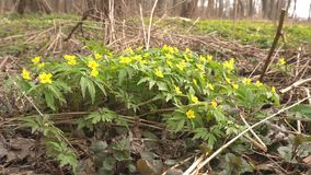 Yellow forest spring flowers anemone that grow in a forest park, ecology, the first flowers after winter, outdoor. Yellow forest spring flowers anemone that grow stock video footage