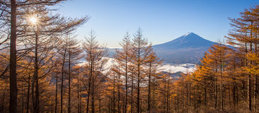 Yellow forest tree  and Top of Mountain Fuji Royalty Free Stock Photos