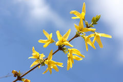 Yellow forsythia Royalty Free Stock Images